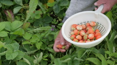 Gathering of strawberries manually - stock footage
