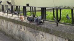 Pigeons are standing on a shelf next to a fence Stock Footage