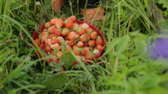 Lots of ripe strawberries on the grass Stock Footage
