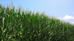 Green corn crops field and blue sky Stock Footage