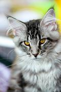 Grey-white tabby Maine Coon cat Stock Photos