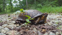 Eastern Box Turtle Side View Stock Footage