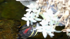 Red-Eared Slider Turtle Floats in Water. Stock Footage