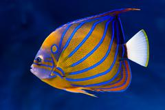 Bluering angelfish - stock photo