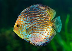 Discus, tropical decorative fish Stock Photos