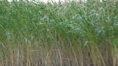 Reeds Swaying in the Wind in Slow Motion in a Strong Wind. Stock Footage