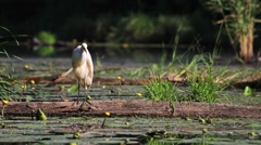 Egret cleans feathers Stock Footage