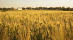 Close up of spikelets field at sunset. Slow motion - stock footage