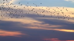 Millionth flock of starlings flying at sunset Stock Footage