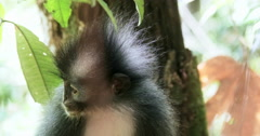 Close up portrait of Sumatra endemic animal Thomas Leaf Langur monkey in nature  Stock Footage