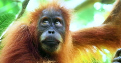 Eyes and face close up view of cute and hairy Sumatra Orangutan looks at camera Stock Footage