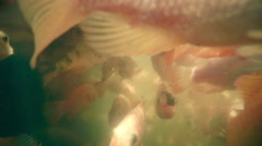 A lot of red fish for skin peeling Stock Footage