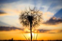 dandelion on susnet sky background - stock photo