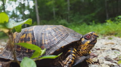 NC Eastern Box Turtle Opening Mouth Stock Footage