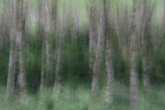 Blurred motion. A forest of Alder trees in Olympic National Park Stock Photos