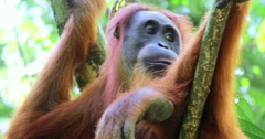 Large female orangutan sits on tree and looks around. Close up eyes and face 4K Stock Footage