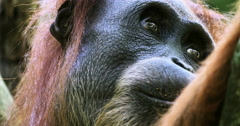 Close up eyes of wild orangutan monkey in Sumatra jungle. Wildlife nature 4K Stock Footage