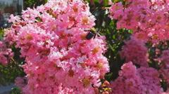 Pink Crape Myrtle Flowers n Carpenter Bee Stock Footage