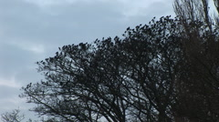 Starlings fly in shock fright from tree in burst of flight Stock Footage