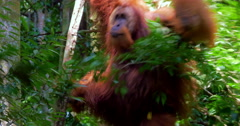 Big wild adult male orangutan hanging on tree in jungle forest canopy in Sumatra - stock footage