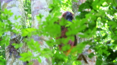 Orangutan climbs trees in Gunung Leuser national park forest. Sumatra, Indonesia Stock Footage