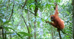 Jungle rainforest nature wildlife background. Sumatra orangutan on tree branch Stock Footage
