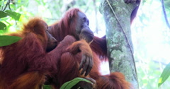 Wildlife animals 4K. Orangutan baby and mother in wild jungle forest of Sumatra Stock Footage