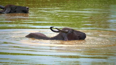 Animals of Yala national park in Sri Lanka. Wild Buffalo bathing in pond Stock Footage