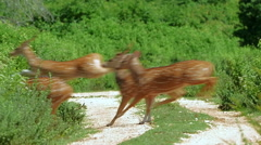 Slow motion nature video of wild deer running  in Yala national park in Sri Lank - stock footage