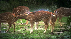 Slow motion video of deer shakes water off wet body in Yala park, Sri Lanka Stock Footage