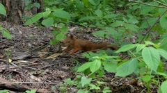 A Red Squirrel Jumping Through the Woods in Slow Motion. Stock Footage