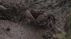 Crab on mud Stock Footage