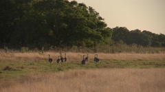 Ostriches walking through the grasslands with trees background Stock Footage