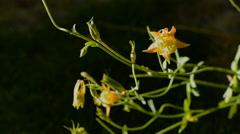 Beautiful sun lit columbine flower waves in wind-dark background-HD. - stock footage
