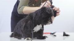 Dog black hair professional salon clipping 4K - stock footage