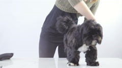 Person grooming little black dog long hair 4K - stock footage