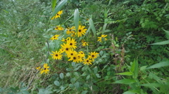 Wild Flowers Black Eyed Susan Stock Footage