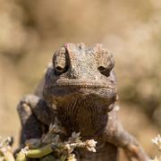Small Chameleon sitting in a bush Stock Photos