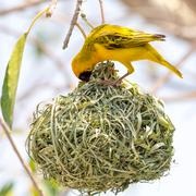 Yellow masked weaver bird building nest - stock photo