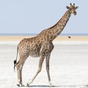 Giraffe walking at salt pan - stock photo