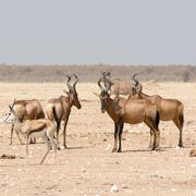 Group of Red hardebeest and other antelopes Stock Photos