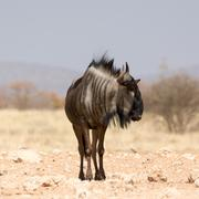 Blue Wildebeest - stock photo