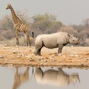 Giraffe and Rhino at waterhole Stock Photos