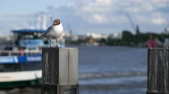 Gull standing on a pale in Hamburg harbor with ferry in background Stock Footage