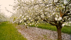 Blossoming apple orchard with white flowers in spring. Slow motion Stock Footage