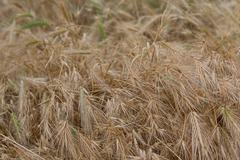 Stems of dry yellow grass closeup. Natural background Stock Photos