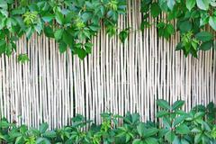 White bamboo fence texture background with green grape leaves - stock photo