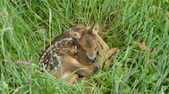 Baby deer laying in the grass Stock Footage