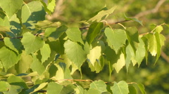 Birch branch with green leaves moving in the wind. Close-up. Stock Footage
