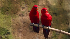 Two funny red parrots sitting on the branch in the zoo Stock Footage